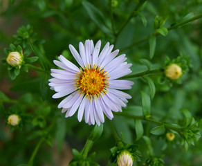 Daisywheel in herb