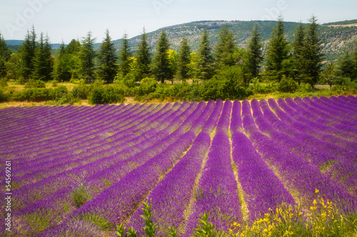 Lavender field in Provence, France - 54569261