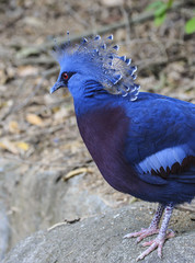 Close up of a Victoria Crowned Pigeon (Goura victoria)