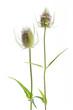 Wilde Karde (Dipsacus silvestris) - 2 Blüten gerade