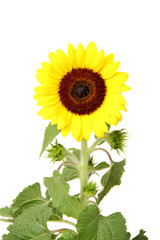 Isolated sunflower front view