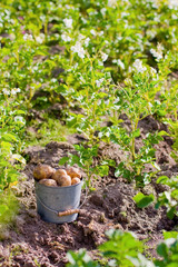 Первый урожай. Ведро картофеля на грядке