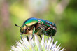 chafer beetle on flower macro