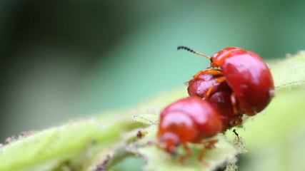 red lily beetles on leaf