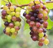 Bunch of colorful grapes hanging on the vine