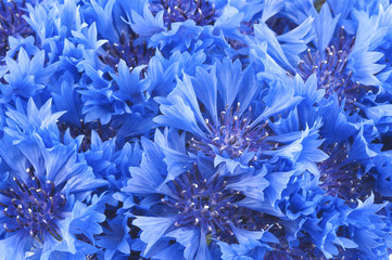 Close up of beautful blue flower of cornflower