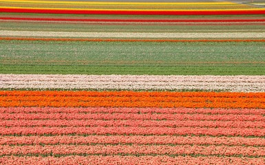 jardin de tulipes en hollande