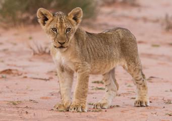 Beautiful lion cub on kalahari sand