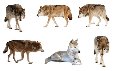 Set of few wolves. Isolated  over white background