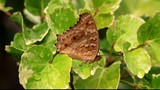 Brown butterfly on leaves