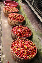 Coffee berries at luwak coffee plantation
