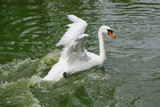 white swan with her cygnets