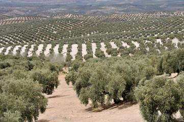 Plantación de olivos, Andalucía (España)