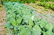 Cabbage in the organic vegetable garden.