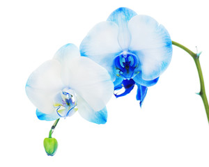 Real blue orchid arrangement centerpiece isolated on white backg