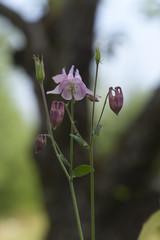 European columbine, Aquilegia vulgaris