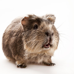 Strong man. Funny guinea pig over white backgrounds