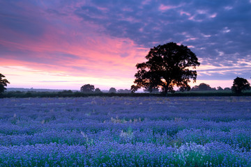 Sunrise over a summer lavender field in England