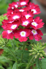 Beautiful blooming verbena