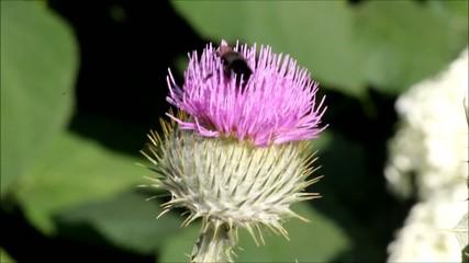 Hummel auf Mariendistel (bumblebee on a Mary thistle)
