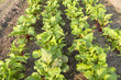 Rows of beets in the organic vegetable garden.