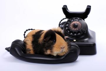 Meerschwein auf antikem Telefonhörer