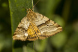 Goldwing (Synthymia fixa) nocturnal moth  insect. poster