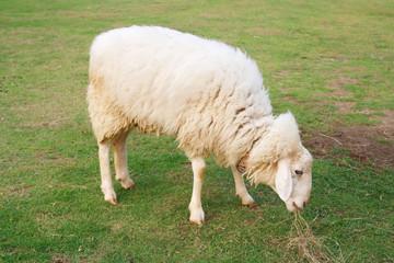 Sheep eating in field