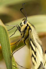 Swallowtail (Papilio machaon) butterfly insect.