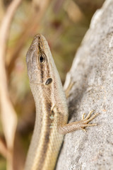 Algerian Psammodromus algirus lizard.
