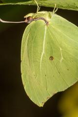 Gonepteryx cleopatra  butterfly