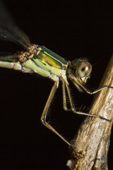 Southern Emerald Damselfly (Lestes barbarus)