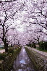 哲学の道と桜並木