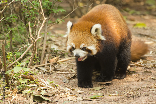 Lesser/Red Panda Walking and Panting