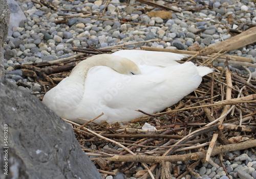 Deurstickers Zwaan Swan nesting