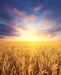 Leinwanddruck Bild - Ripening wheat field and sunrise sky as background