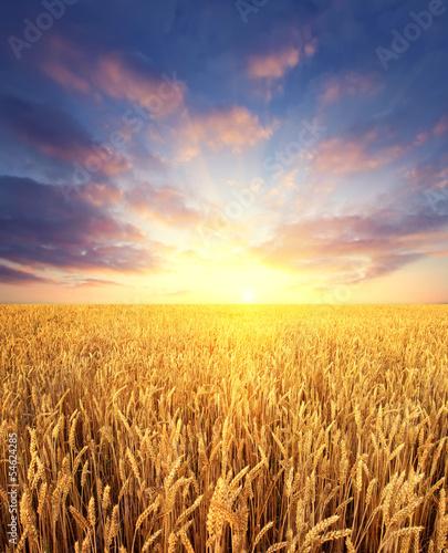 Leinwanddruck Bild Ripening wheat field and sunrise sky as background