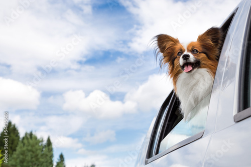 Papillon dog traveling in car