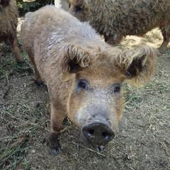 Wollschwein als Nutztier
