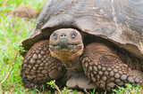 Fototapety Galapagos Giant Tortoise in Closeup