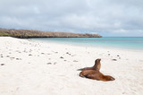 Beach scene with two Galapagos Sea-Lions