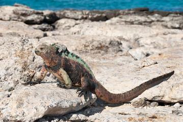Galapagos marine iguana in sunshine