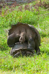 Mating Giant Tortoises
