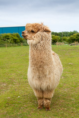 Single alpaca showing its thick fleece