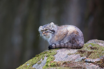 Pallas cat observes