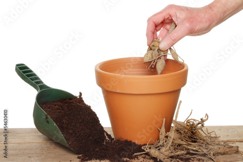 Fotobehang Dahlia Planting a dahlia