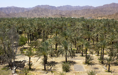 Palm oasis in the hot desert