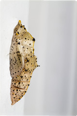 Chrysalis of a Large White Butterfly (Pieris brassicae, UK