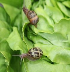 escargots sur de la salade