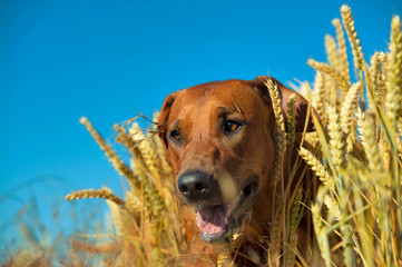 Dog in the rye wheaten field